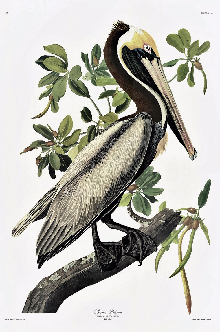 Brown Pelican Audubon Print. Princeton Audubon. The world's only direct camera image of Audubons original.
