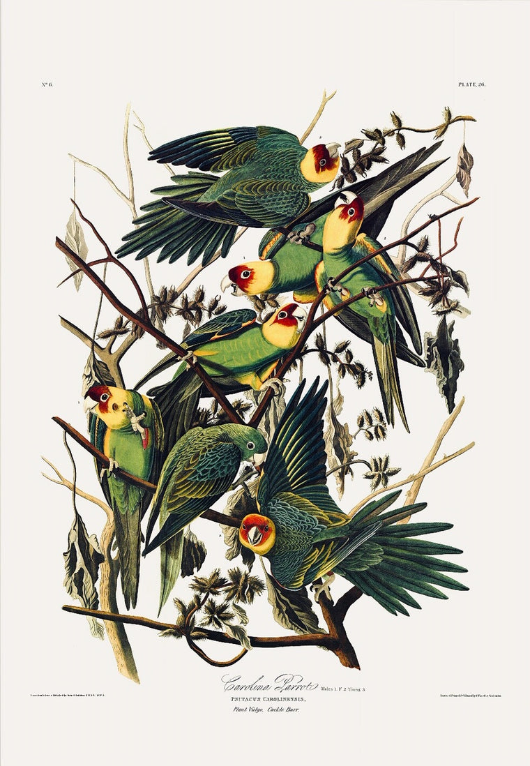 Carolina Parrot Audubon Print (extinct), plate 26, Princeton Audubon Double Elephant Edition. 26 1/4 x 38 inches. The world's only direct camera edition of this magnificent bird.