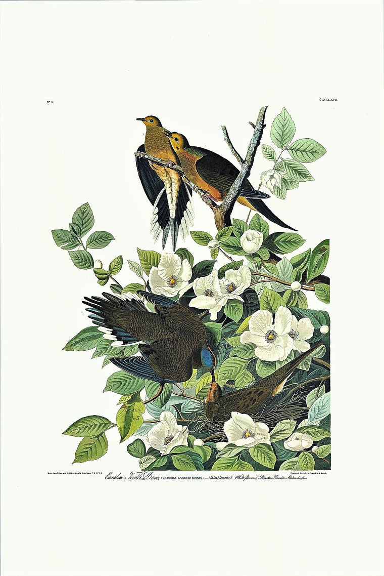 Carolina Turtle Dove Audubon Print. Princeton Audubon. The world's only direct camera edition of this image.