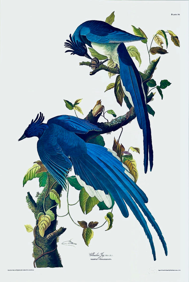 Colombian Jay Audubon Print. Princeton Audubon. The world's only direct camera edition of this image.