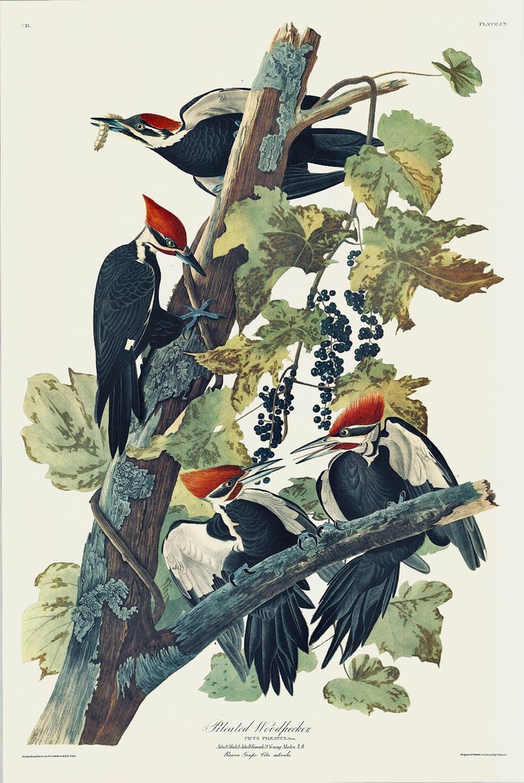 Pileated Woodpecker Audubon Print, plate 111. Princeton Audubon. World
