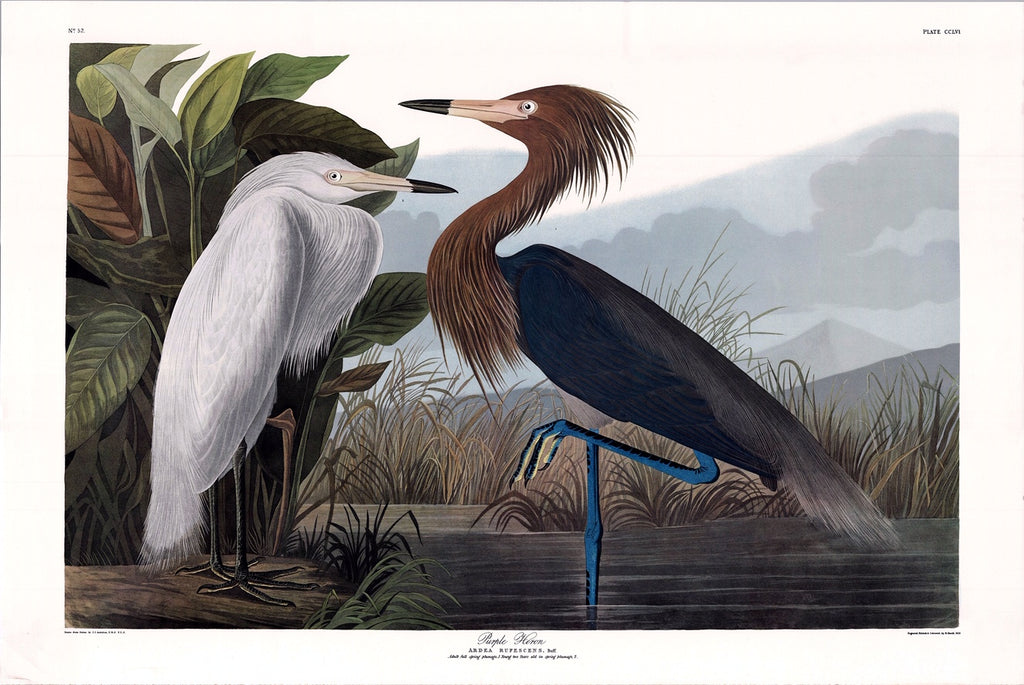 Purple Heron Audubon Print, plate 256, Princeton Audubon Double Elephant Edition. 26 1/4 x 39 1/4. This print initiated the New York Times online store some years back and is now close to sold out status.