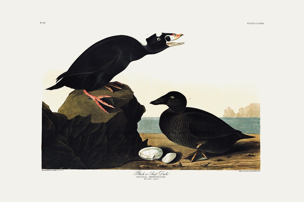 Black or Surf Duck Audubon Print. Princeton Audubon. World's only direct camera edition of this image.