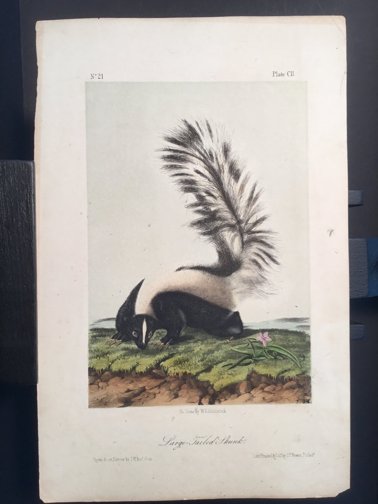 Lord-Hopkins Collection - Large Tailed Skunk