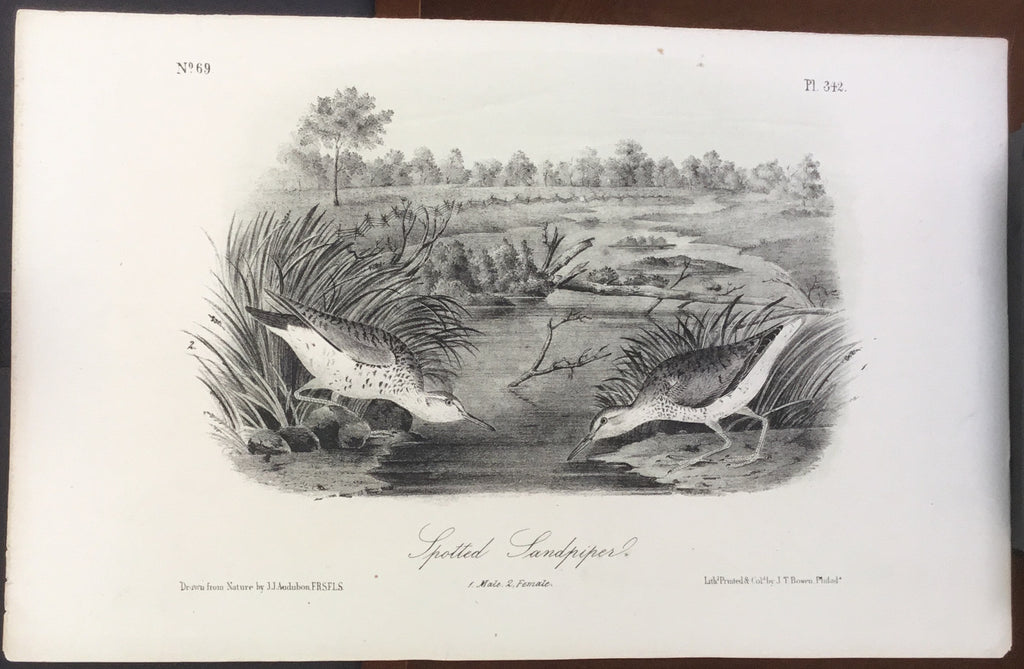 Audubon Octavo Spotted Sandpiper (2), plate 342, uncolored test sheet, 7 x 11