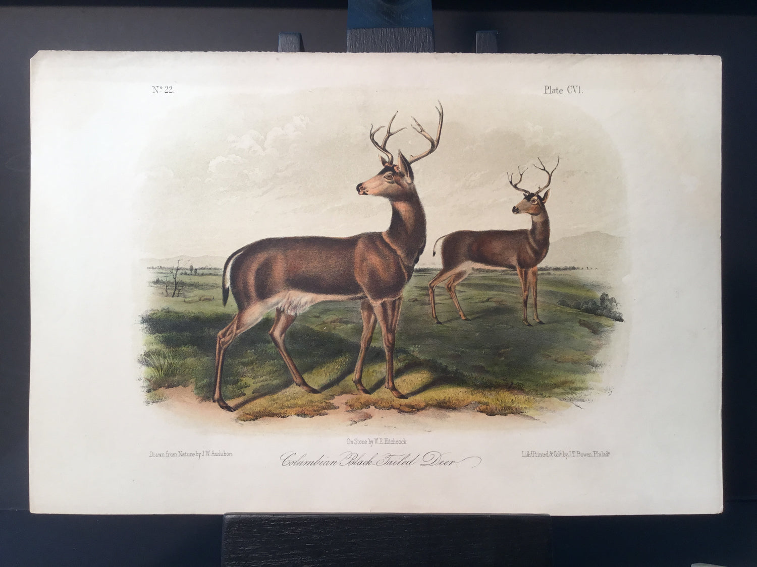 Lord-Hopkins Collection - Columbia Black Tailed Deer