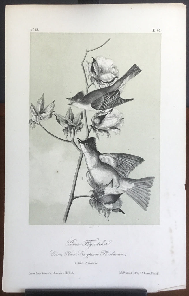 Audubon Octavo Pewee Flycatcher, plate 63, uncolored test sheet. 7 x 11