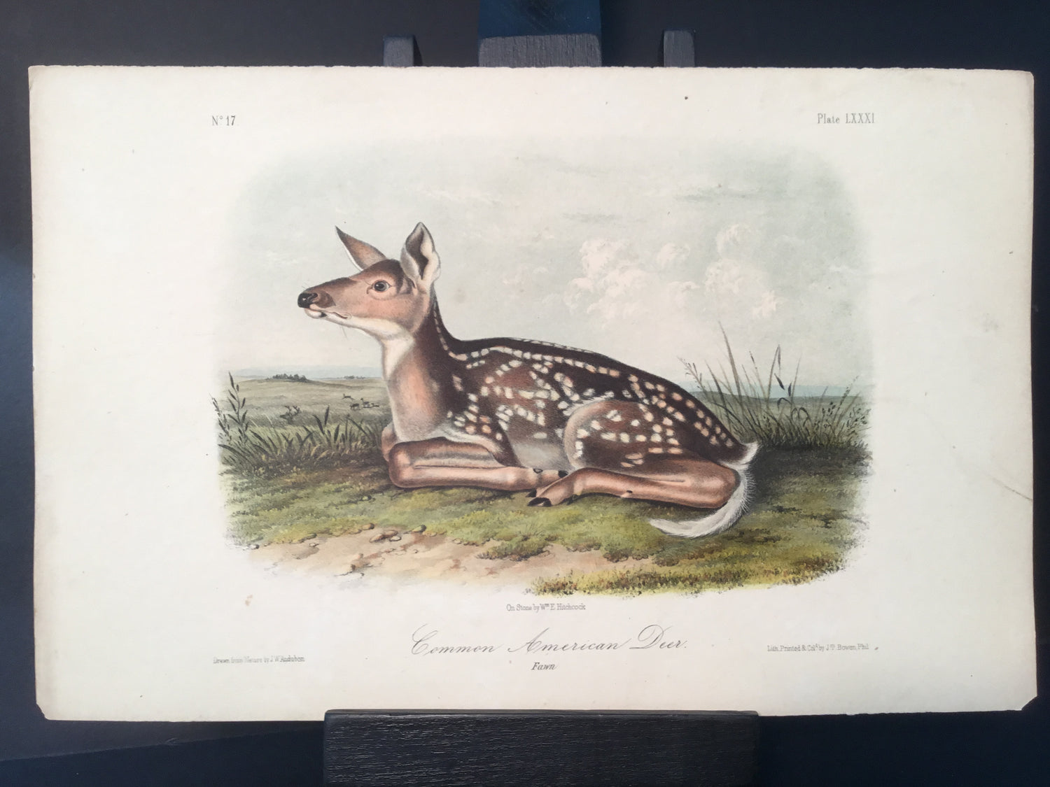 Lord-Hopkins Collection - Common American Deer, Fawn