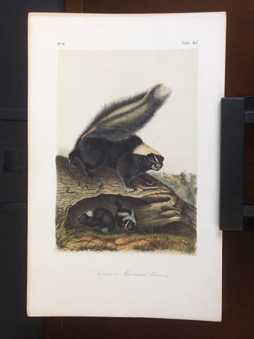 lord-Hopkins Collection Audubon Octavo Quadruped - Common American Skunk