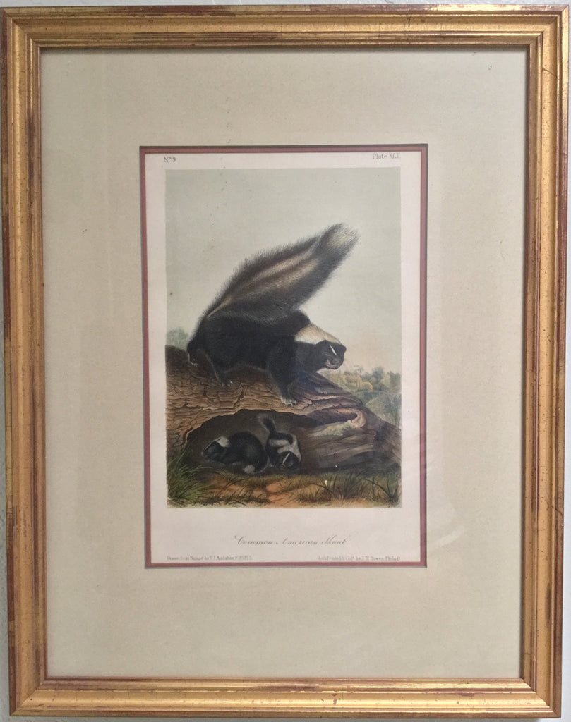 Original Audubon Octavo Common American Skunk, Plate 42 (Framed)