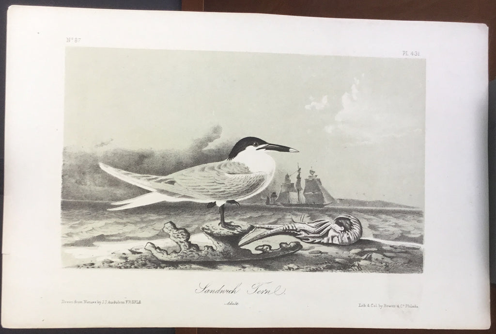 Audubon Octavo Sandwich Tern, plate 431, uncolored test sheet, 7 x 11