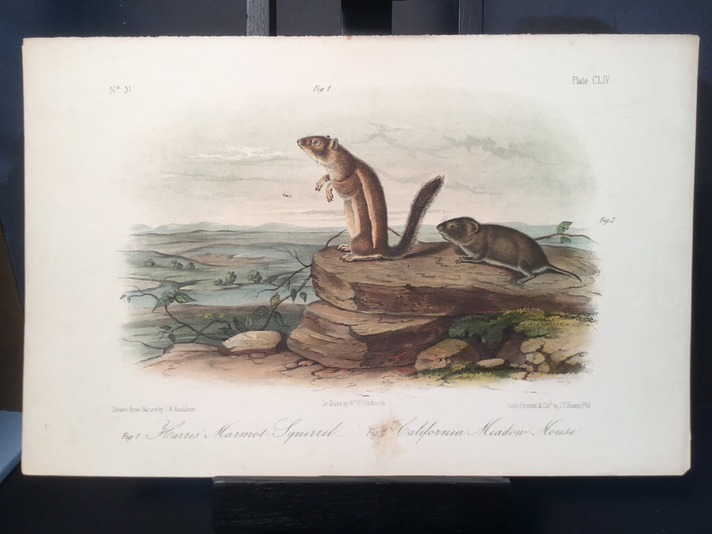 Lord-Hopkins Collection - California Marmot Squirrel, California Mouse