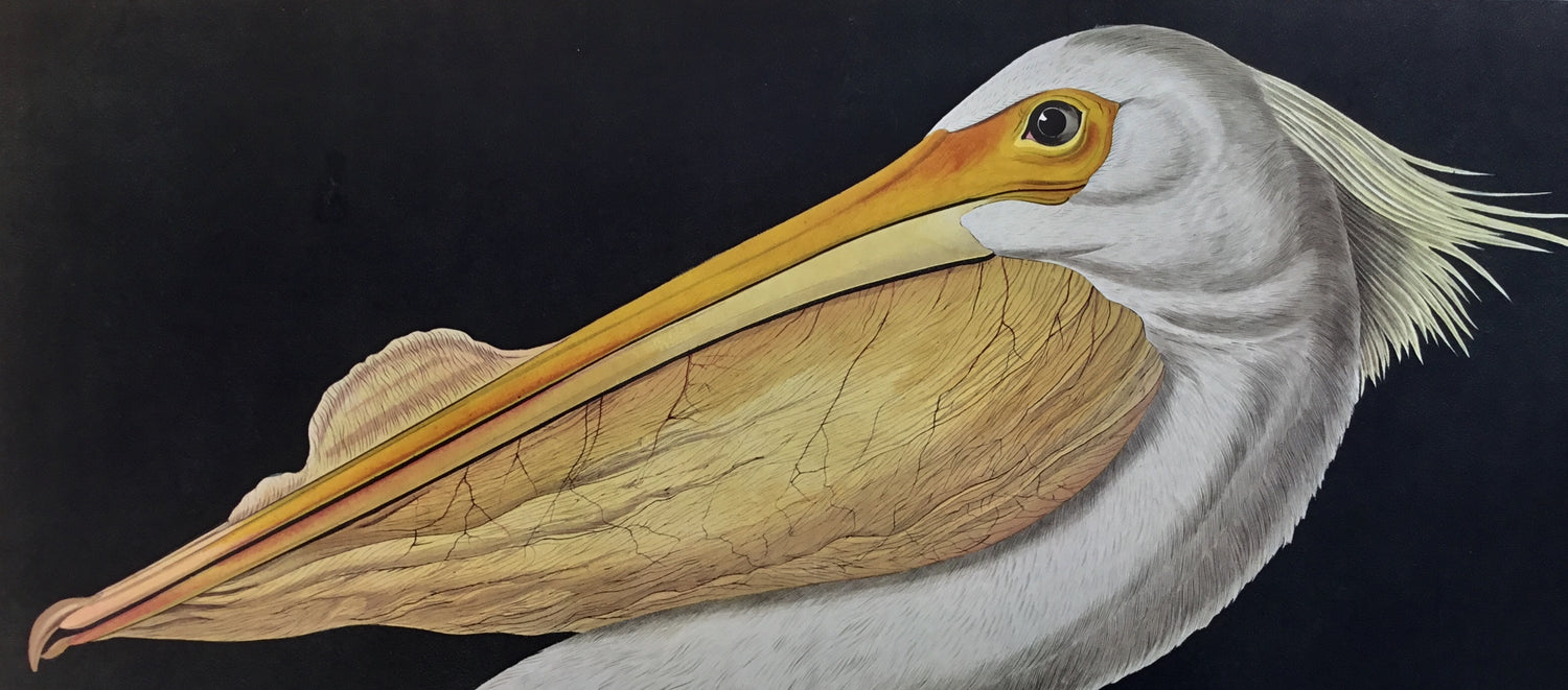 Princeton Audubon American White Pelican, the world's only direct camera image of Audubon's spectacular original. 26 1/4 x 39 1/4.