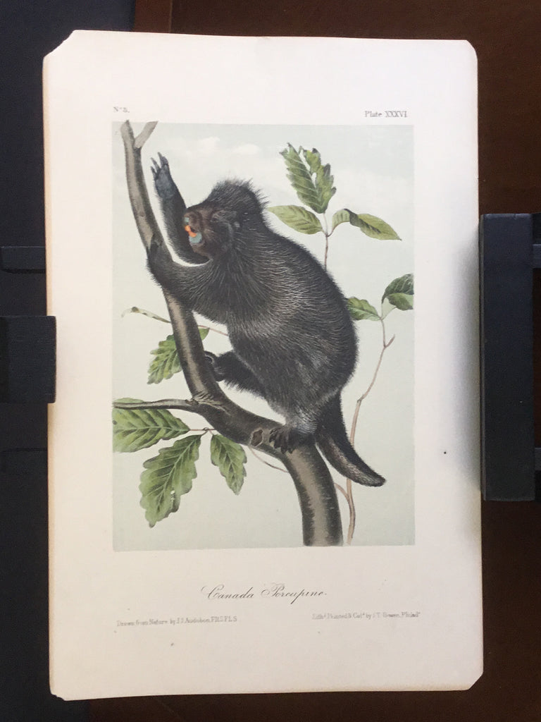 lord-Hopkins Collection Audubon Octavo Quadruped - Canada Porcupine
