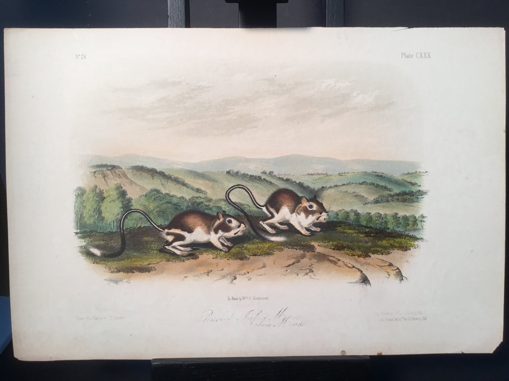 Lord-Hopkins Collection - Pouched Jerboa Mouse