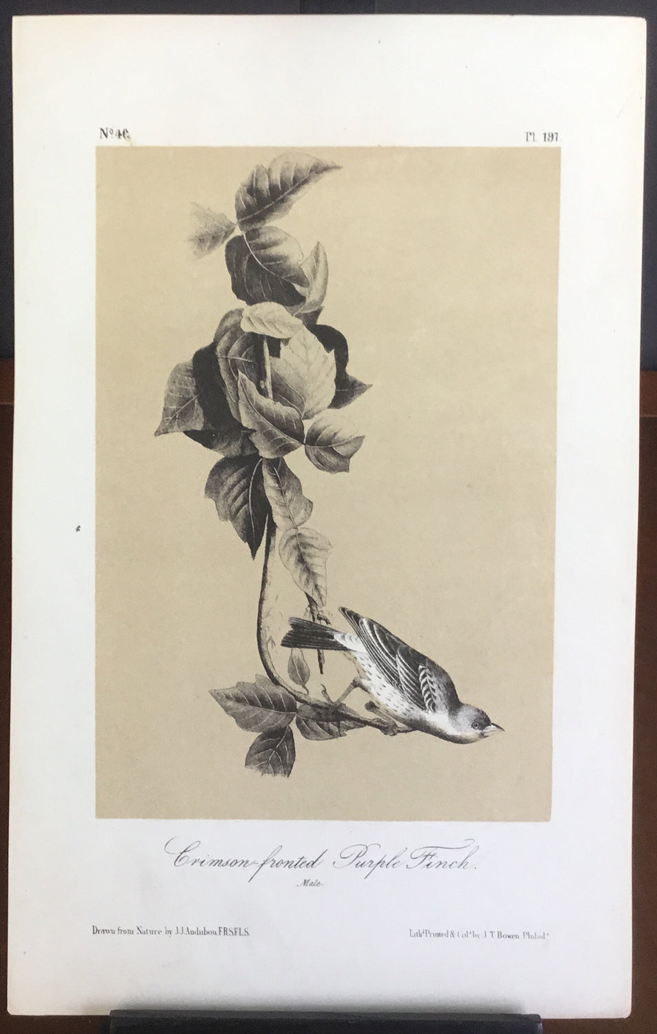 Audubon Octavo Crimson-fronted Purple Finch, plate 197, uncolored test sheet, 7 x 11