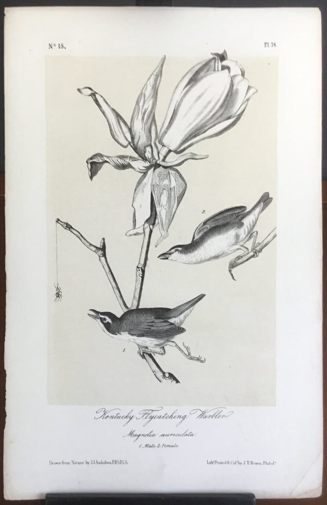 Audubon Octavo Kentucky Flycatching Warbler, plate 74, uncolored test sheet. 7 x 11