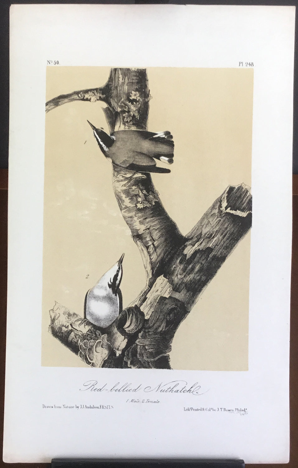 Audubon Octavo Red-bellied Nuthatch , plate 248, uncolored test sheet, 7 x 11