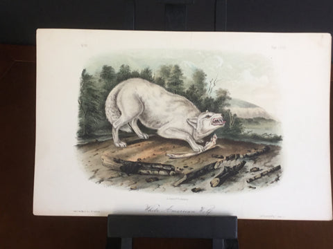 lord-Hopkins Collection Audubon Octavo Quadruped - White American Wolf