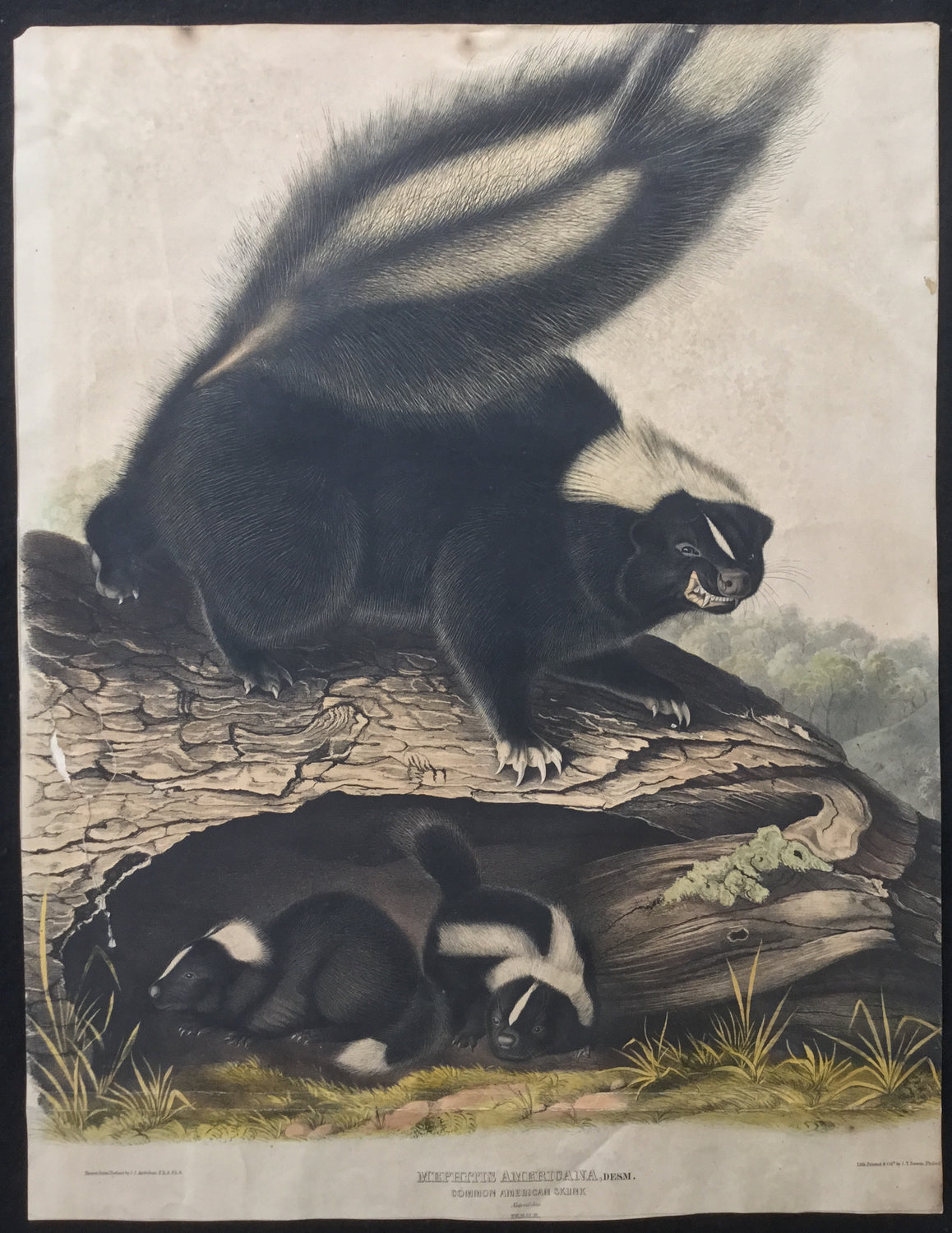 Lord-Hopkins Collection (Bowen pattern print), Audubon Original Imperial plate 42, Common American Skunk