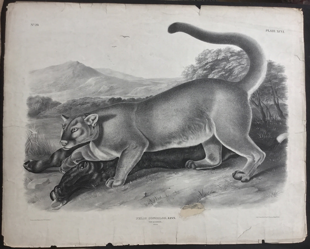 Lord-Hopkins Collection, Audubon Original Imperial plate 96, The Cougar