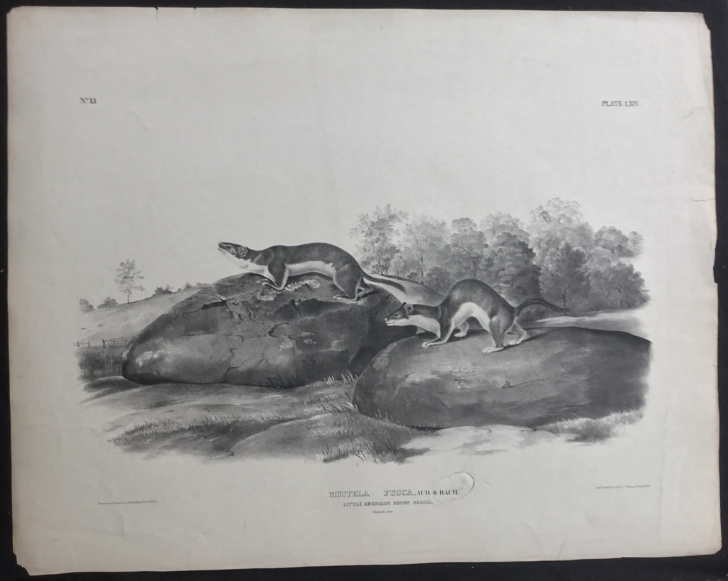Lord-Hopkins Collection, Audubon Original Imperial plate 64, Little American Brown Weasel