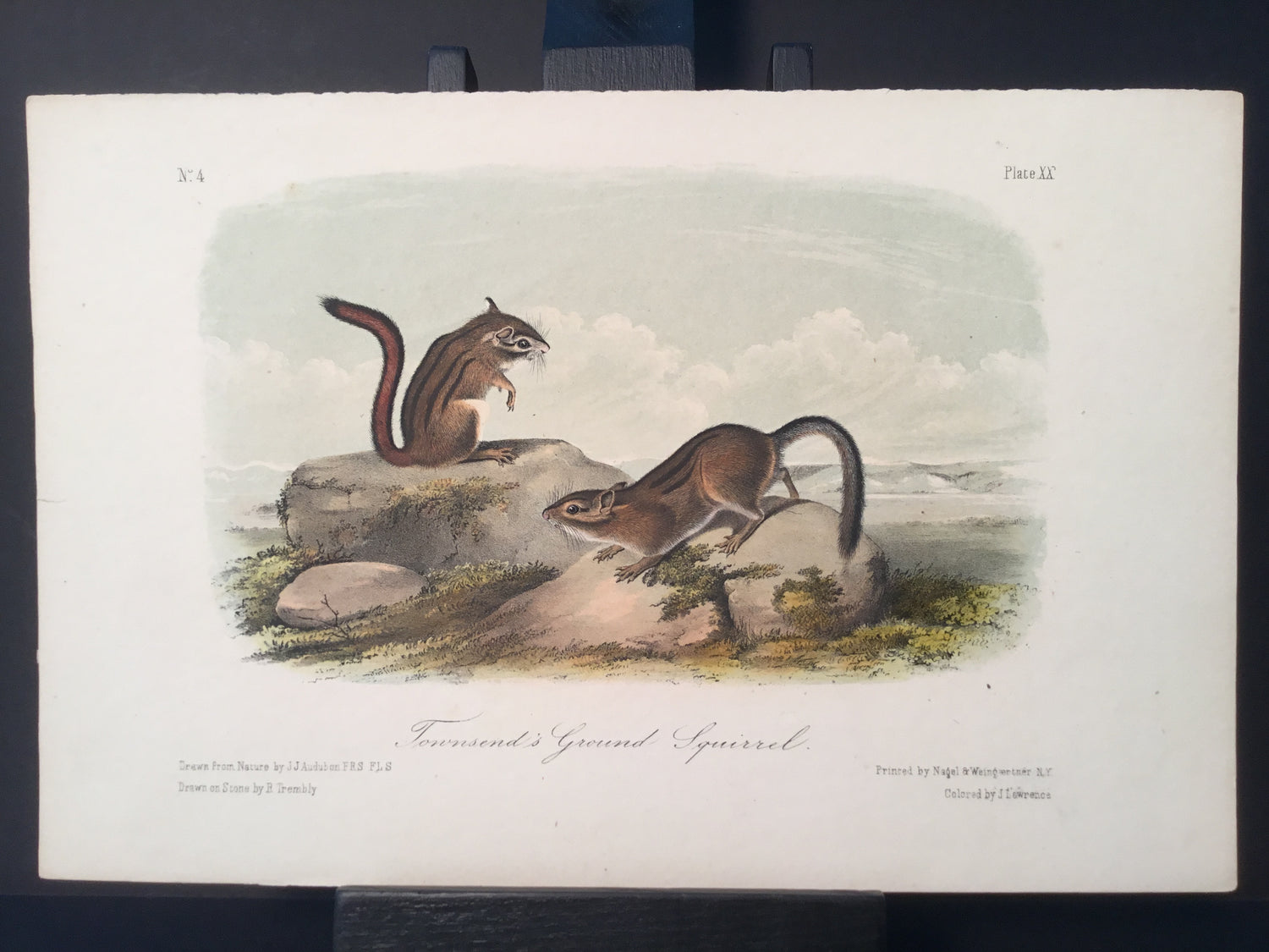 Lord-Hopkins Collection - Townsend's Ground Squirrel