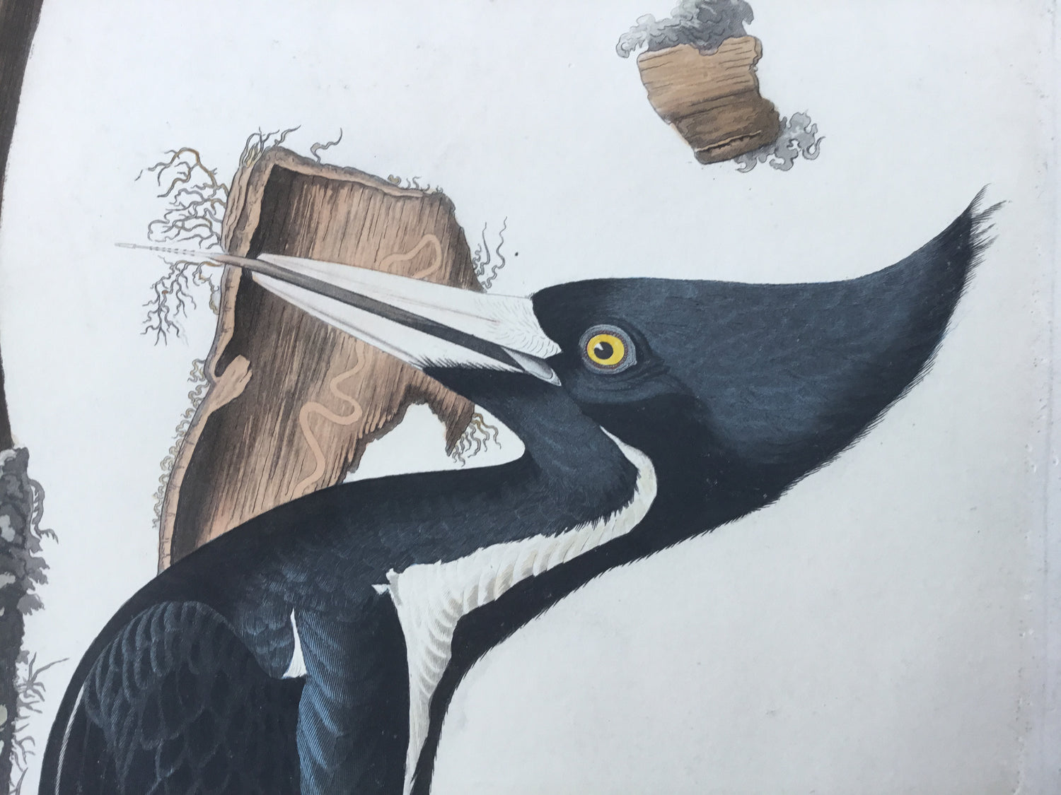 Original Audubon Havell Ivory-billed Woodpecker