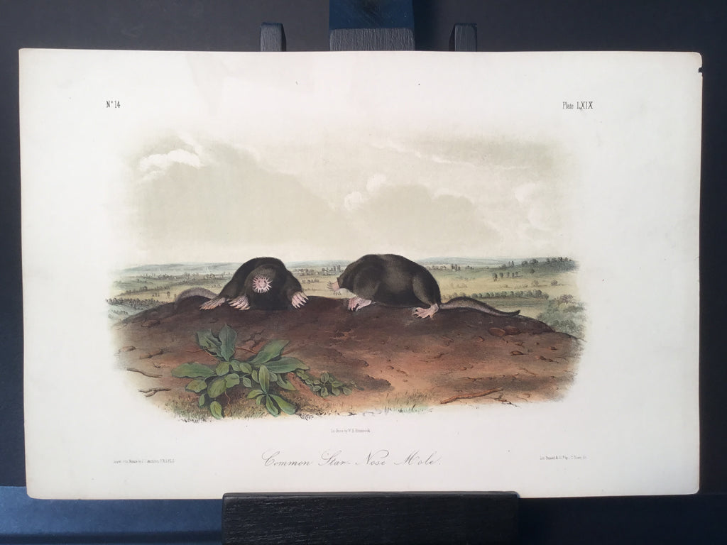 Lord-Hopkins Collection - Common Star Nose Mole