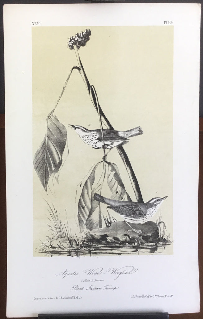 Audubon Octavo Aquatic Wood Wagtail, plate 149, uncolored test sheet, 7 x 11