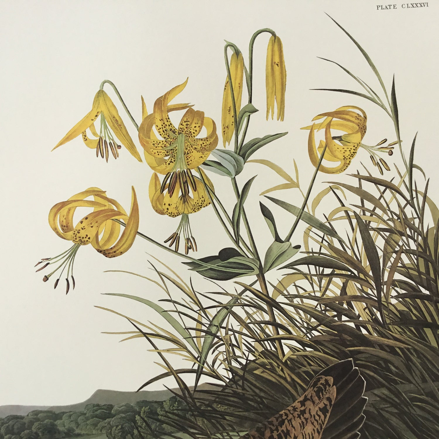 Pinnated Grous Audubon Print. Princeton Audubon. The world's only direct camera edition of this image.