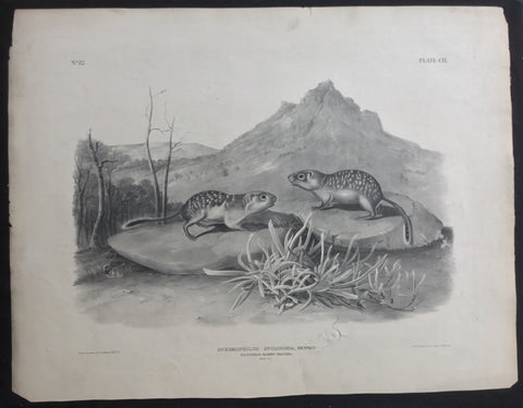 Lord-Hopkins Collection, Audubon Original Imperial plate 109, California Marmot Squirrel