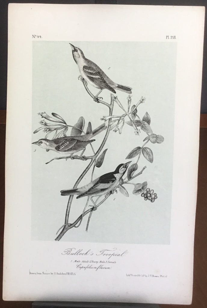 Audubon Octavo Bullock's Troopial (2), plate 218, uncolored test sheet, 7 x 11