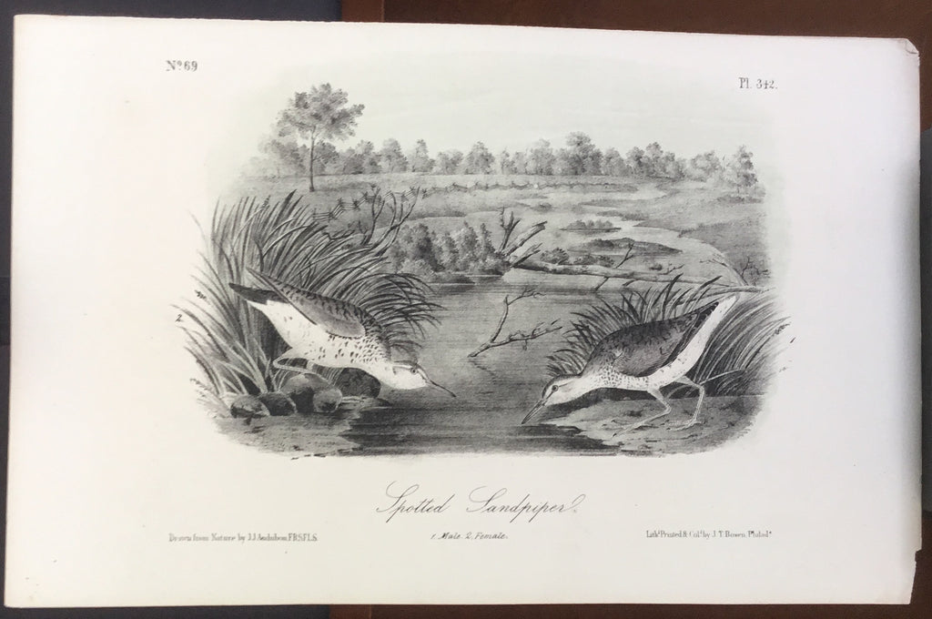 Audubon Octavo Spotted Sandpiper (4), plate 342, uncolored test sheet, 7 x 11