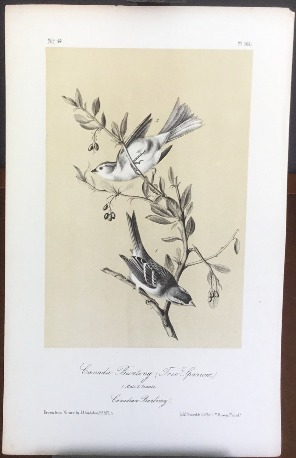 Audubon Canada Bunting and Tree Sparrow (2), plate 166, uncolored test sheet, 7 x 11