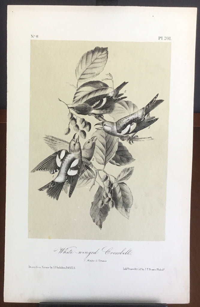 Audubon Octavo White-winged Crossbill, plate 201, uncolored test sheet, 7 x 11