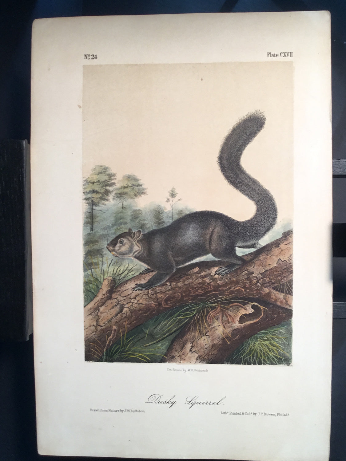 Lord-Hopkins Collection - Dusky Squirrel