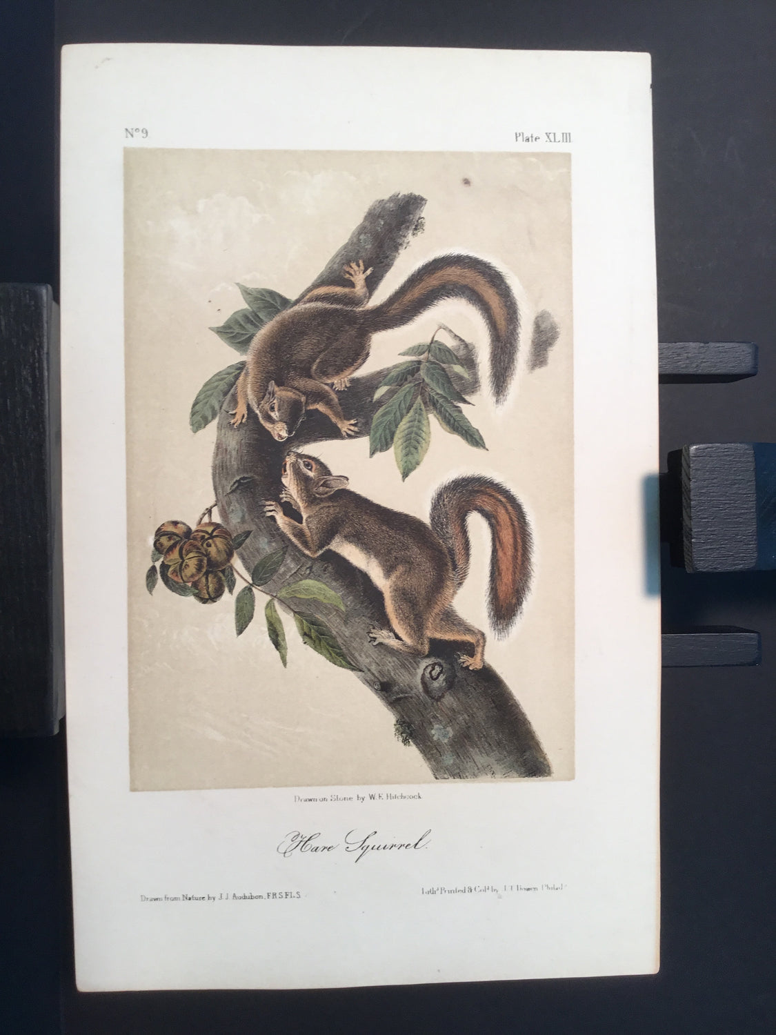 Lord-Hopkins Collection - Hare Squirrel