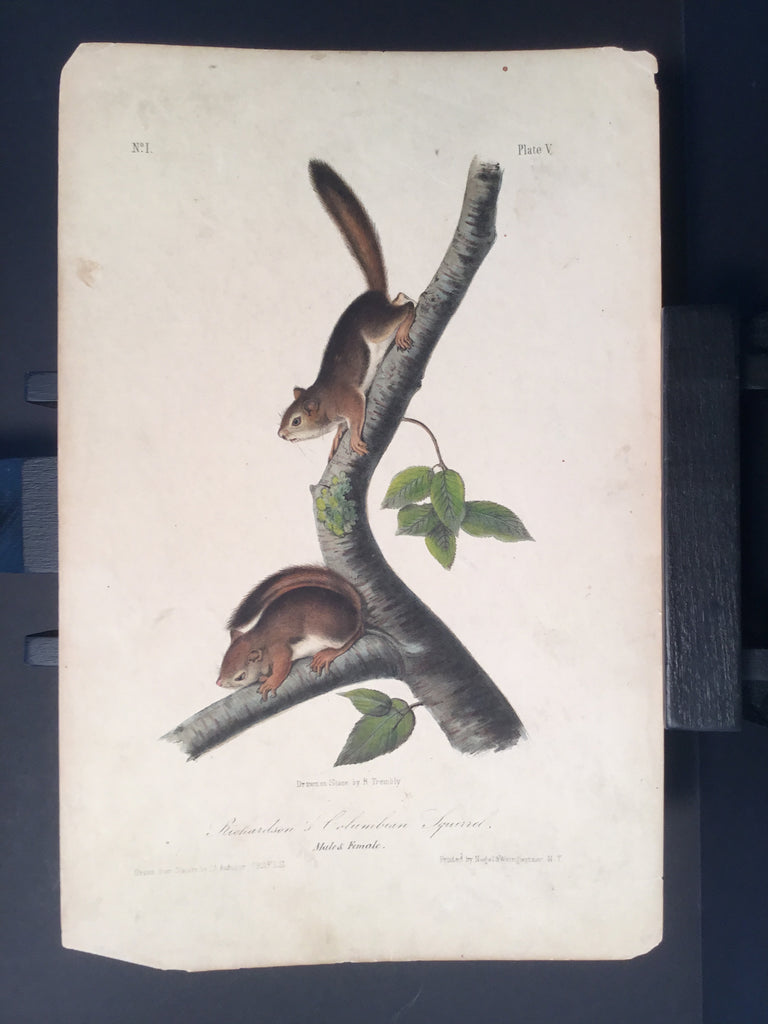 Lord-Hopkins Collection - Richardson's Columbian Squirrel
