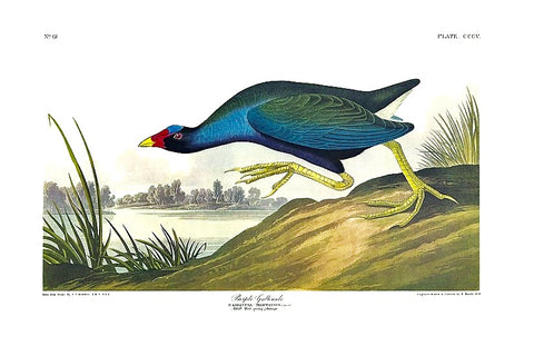 Special offer: Trimmed Purple Gallinule