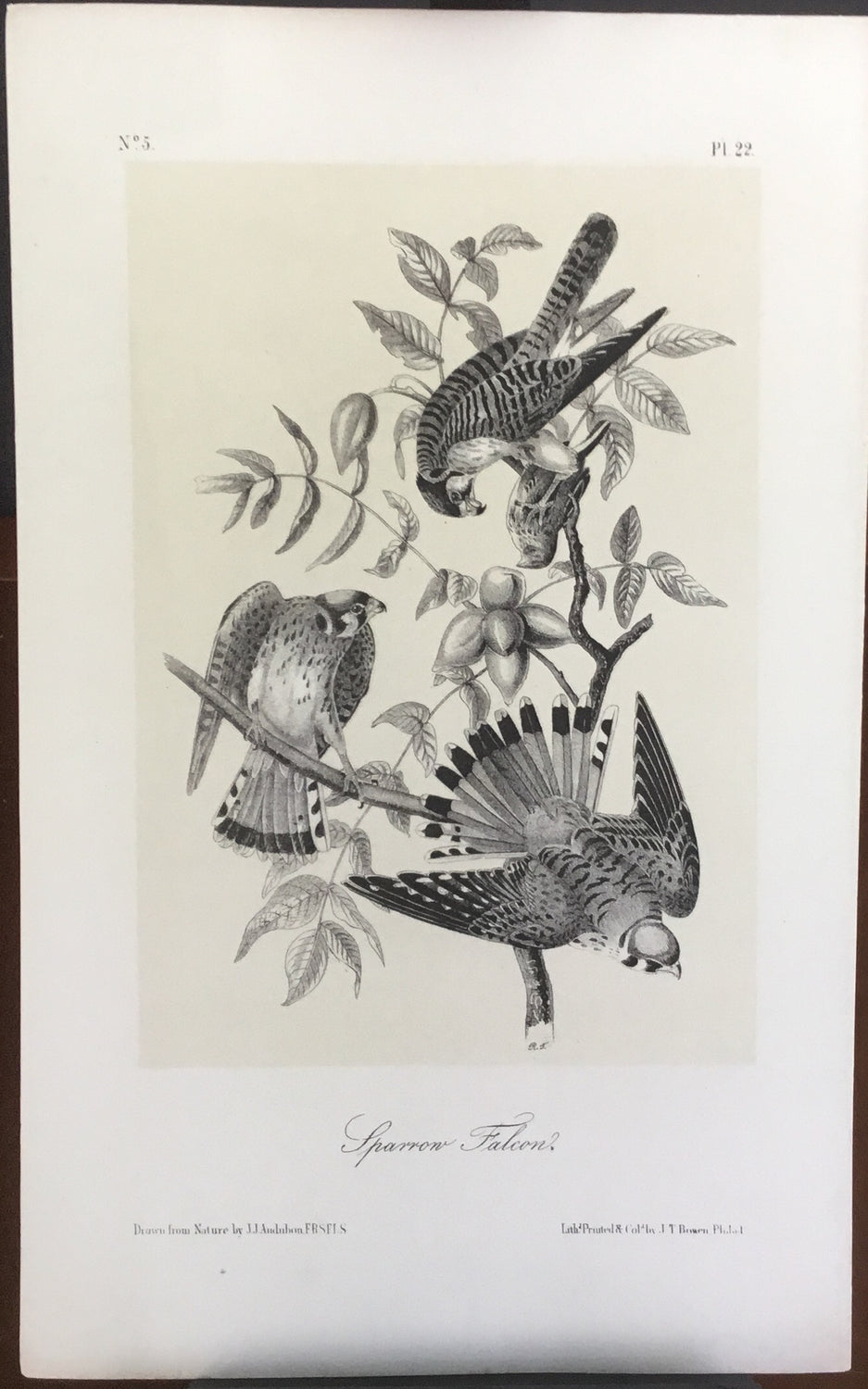 Audubon Octavo Sparrow Falcon plate 22 x uncolored test sheet. 7 x 11