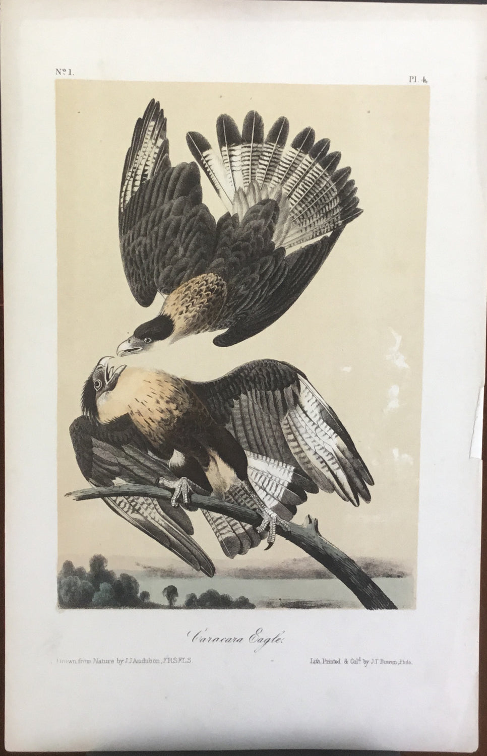 Audubon Octavo Caracara Eagle plate 4 x uncolored test sheet. 7 x 11 (tinted background)