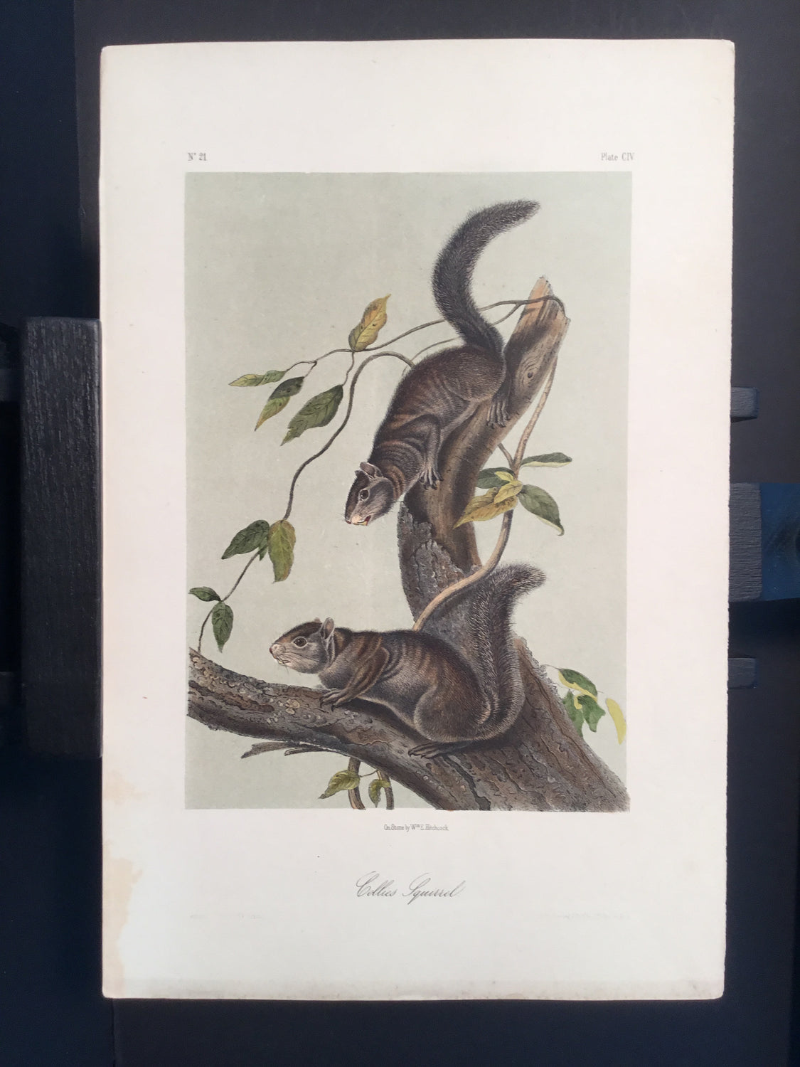 Lord-Hopkins Collection - Collies Squirrels