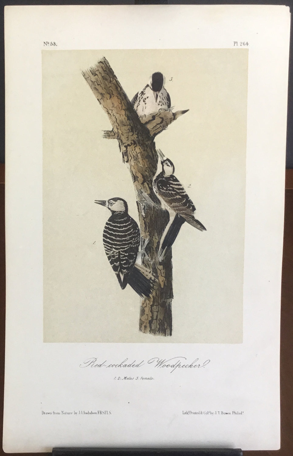Audubon Octavo Red-cockaded Woodpecker , plate 264, uncolored test sheet, 7 x 11