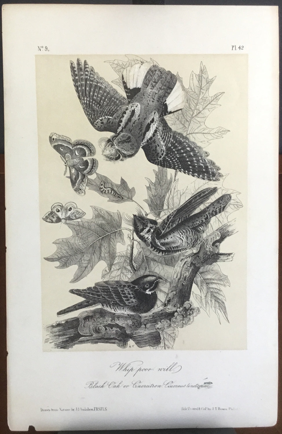Audubon Octavo Whip-poor Will, plate 42, uncolored test sheet. 7 x 11