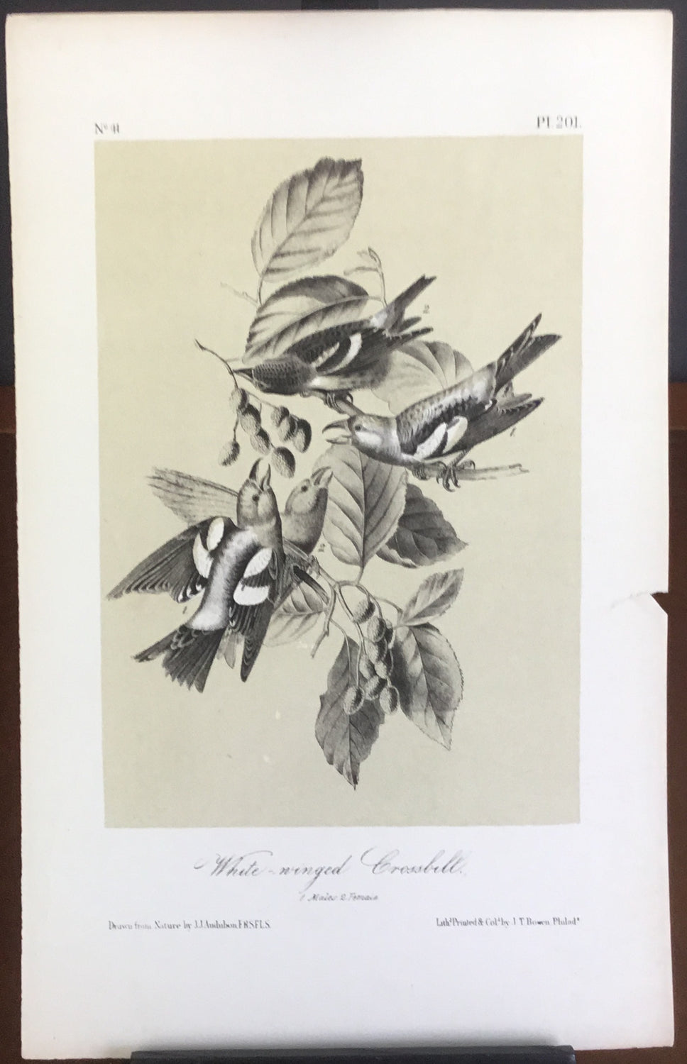 Audubon Octavo White-winged Crossbill (2), plate 201, uncolored test sheet, 7 x 11