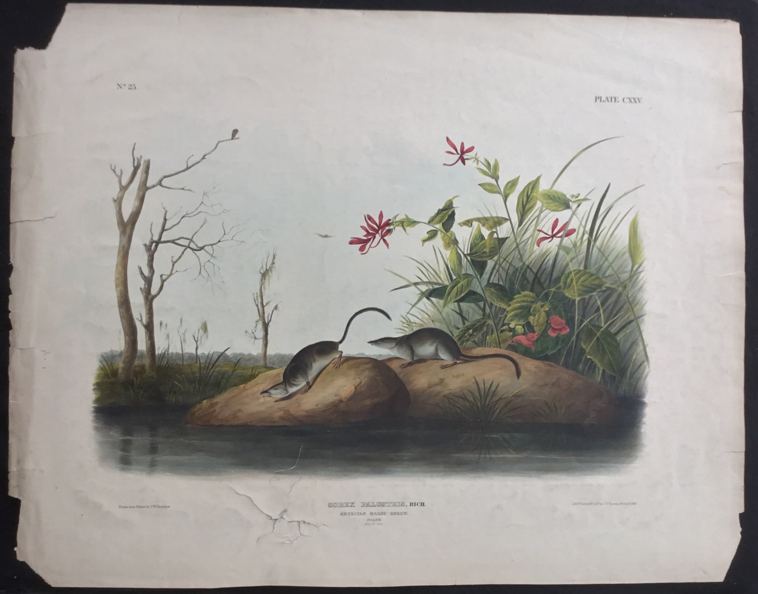 Lord-Hopkins Collection (Bowen pattern print), Audubon Original Imperial plate 125, American Marsh Shrew