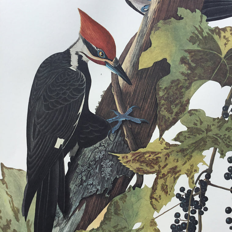 "Pileated Woodpecker Audubon Print, plate 111. Princeton Audubon. World""s only direct camera image of this stunning composition."
