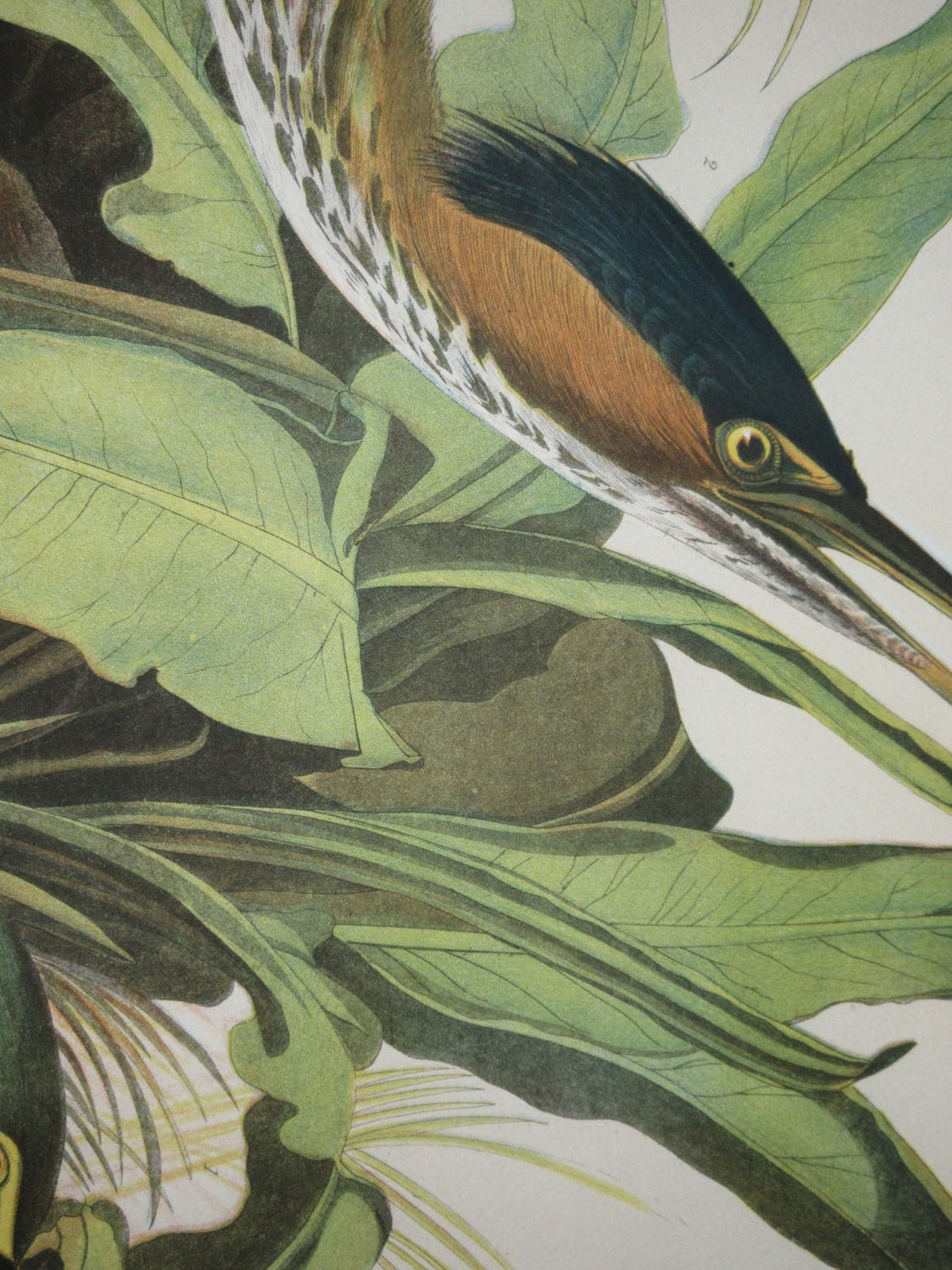 Bien Edition Green Heron