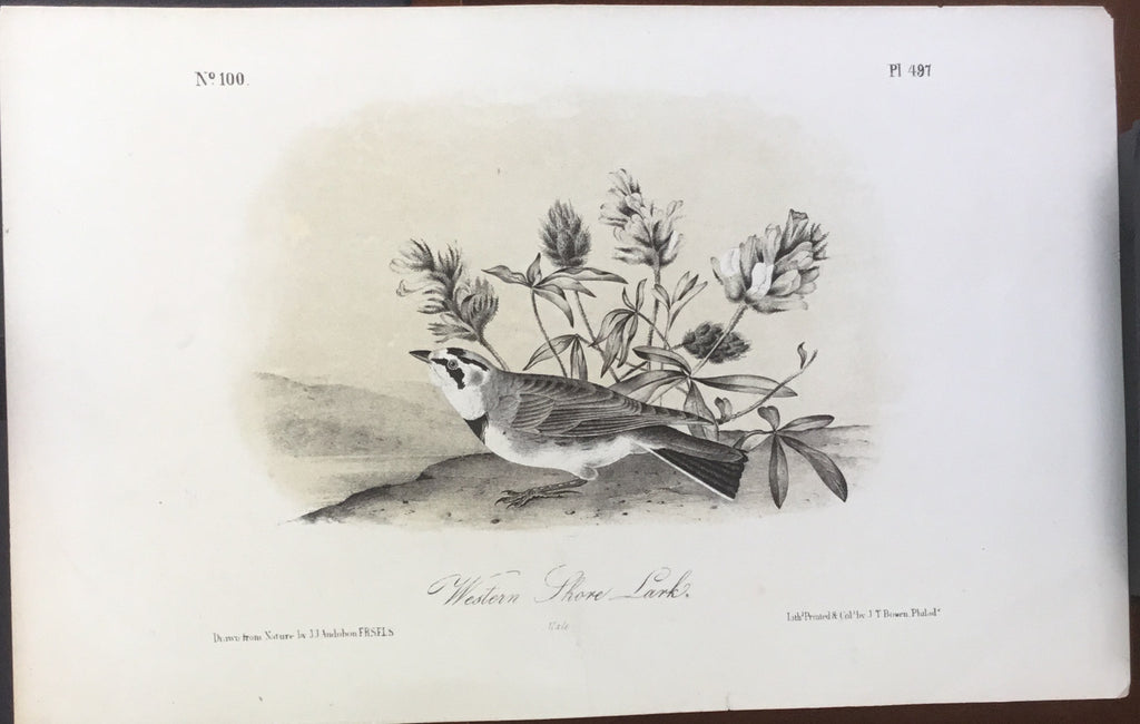 Audubon Octavo Western Shore Lark, plate 497, uncolored test sheet, 7 x 11